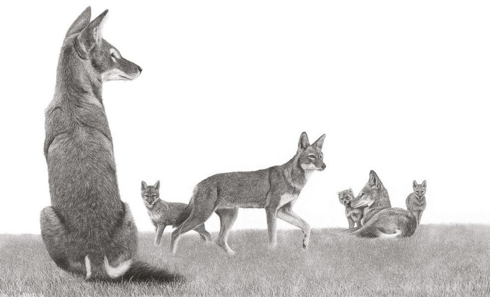 Six Ethiopian Wolves - Alert & Playful