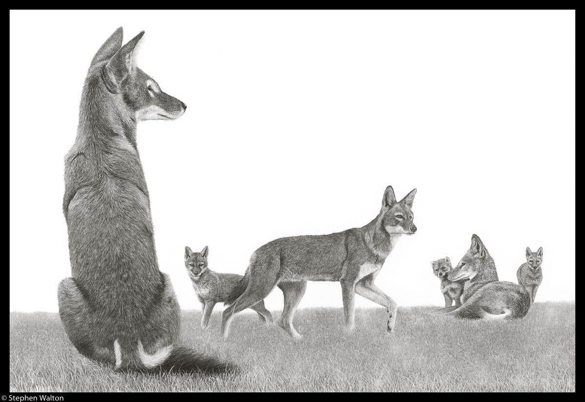 Six Ethiopian Wolves