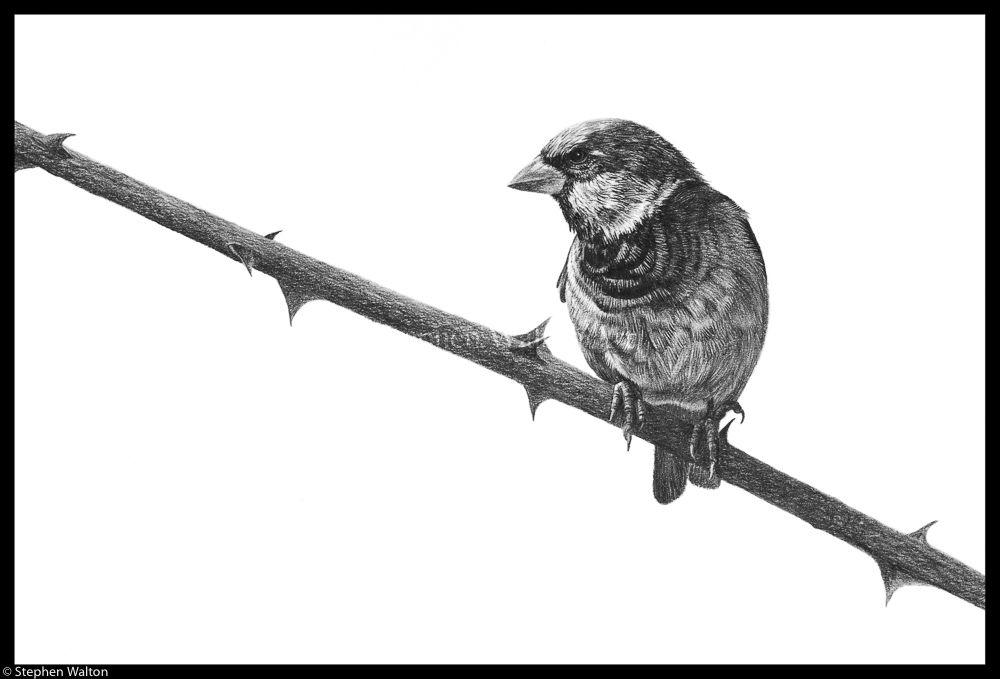 Sparrow & Thorn