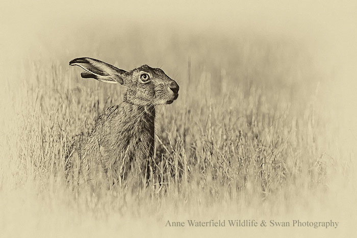 Brown Hare in Black and White