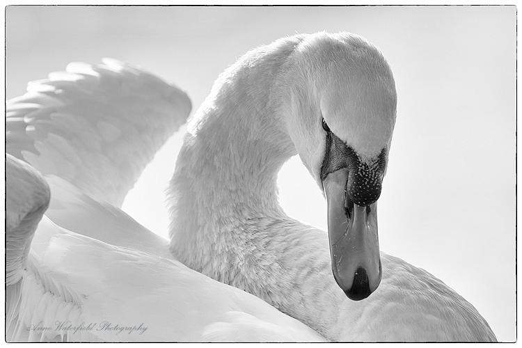 Swan Mythology (Zeus 1.)