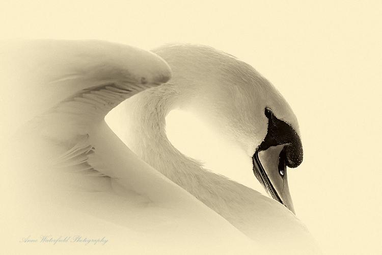 Swan Mythology (Zeus 2.)