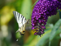Butterfly Feeding on Buddleia