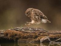 Little Owl Hop
