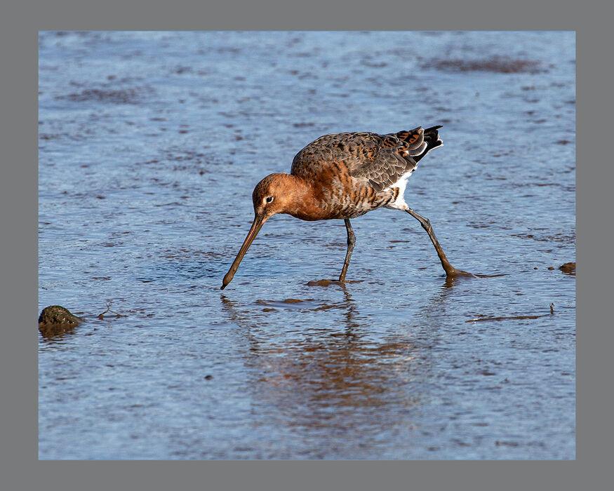 Black-tailed Godwit Feeding (#32)