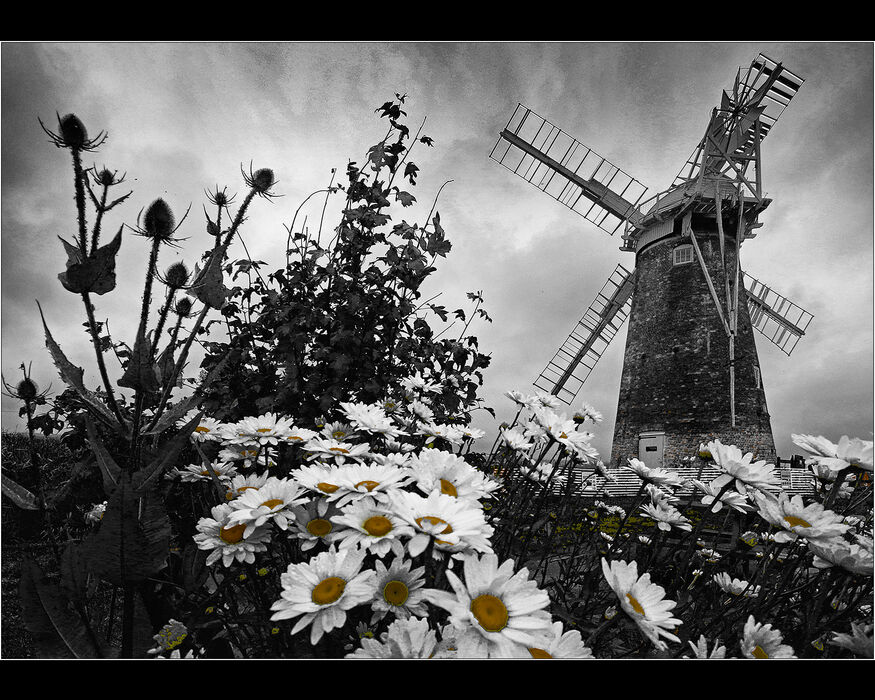 Daisies at Hardley Staithe Windpump (#8)