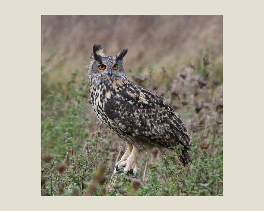 Eurasian Eagle Owl (#41)