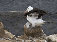 Black-browed Albatross Guarding Chick