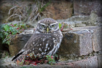 Little Owl (Athena Noctura) on an old brick wall
