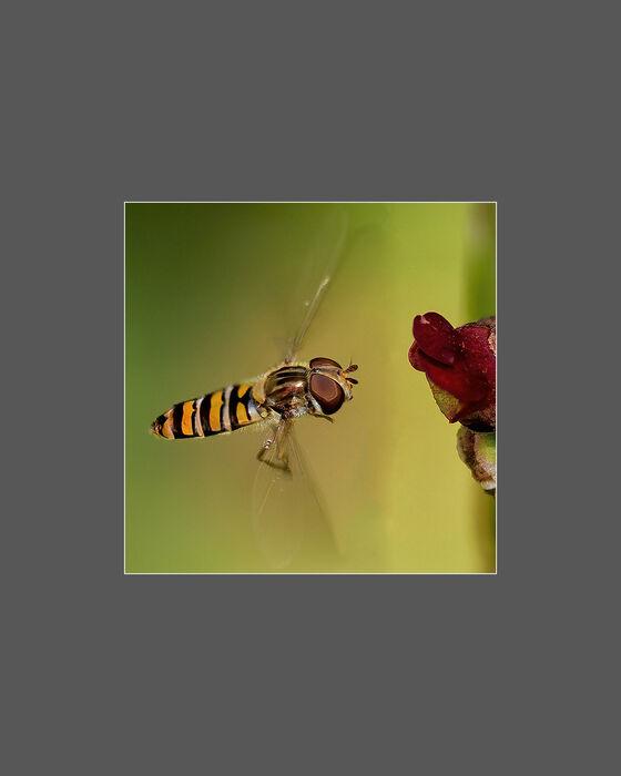 Marmalade Hoverfly (#338)