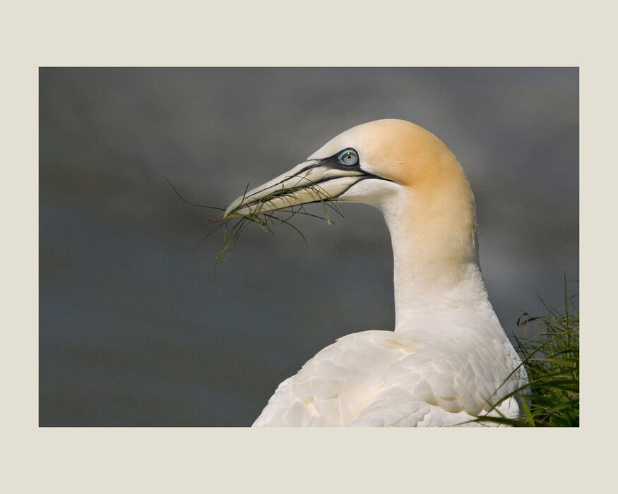 Northern Gannet with Nesting Material (#335)