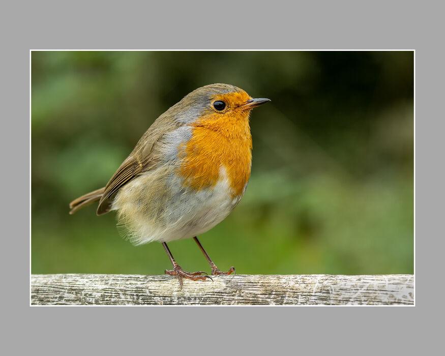 Robin (#12)