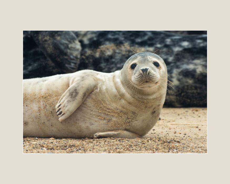 Seal Pup (#80)