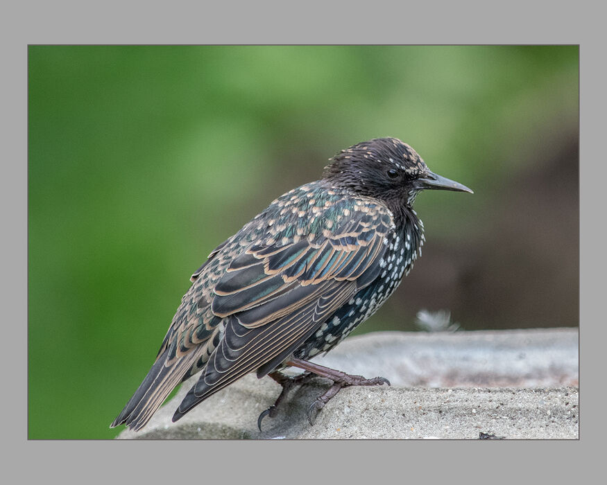 Starling - Nearly Adult Plumage (#339)
