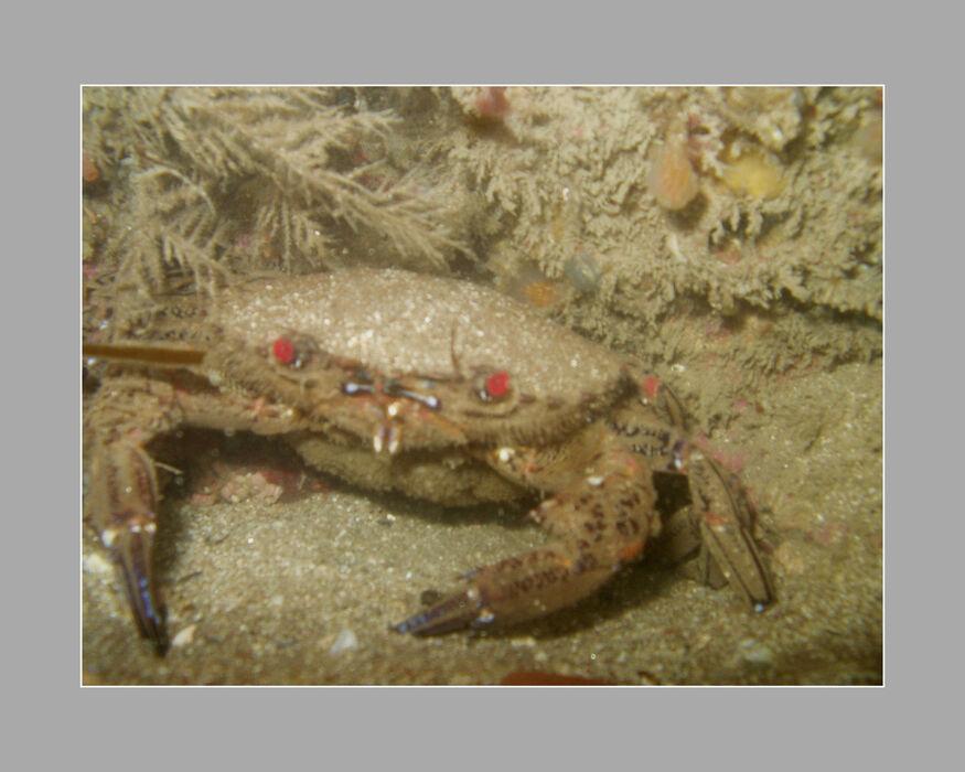 Velvet Swimming Crab (A Ware)