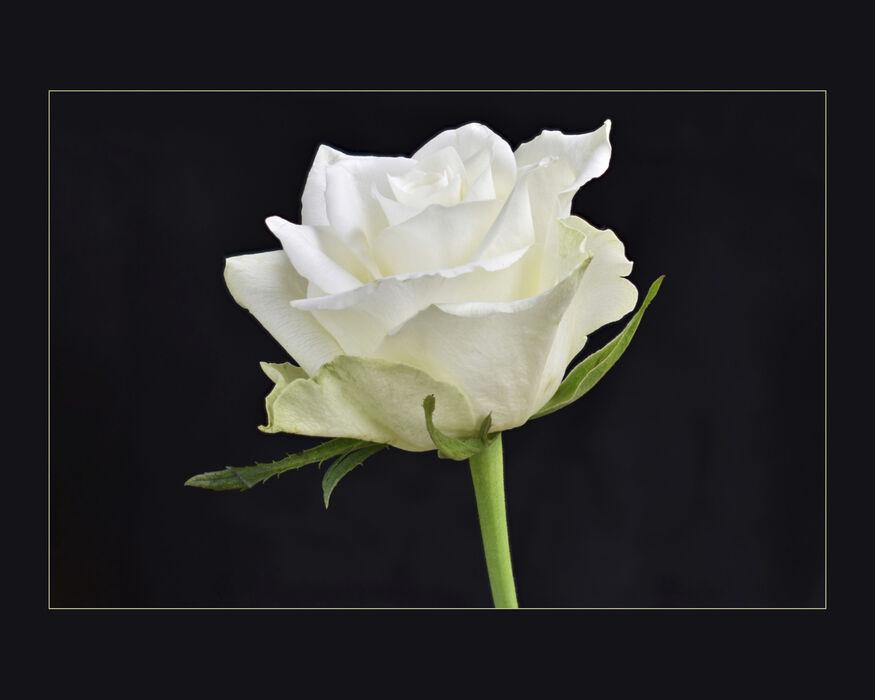 White Rose (#112)