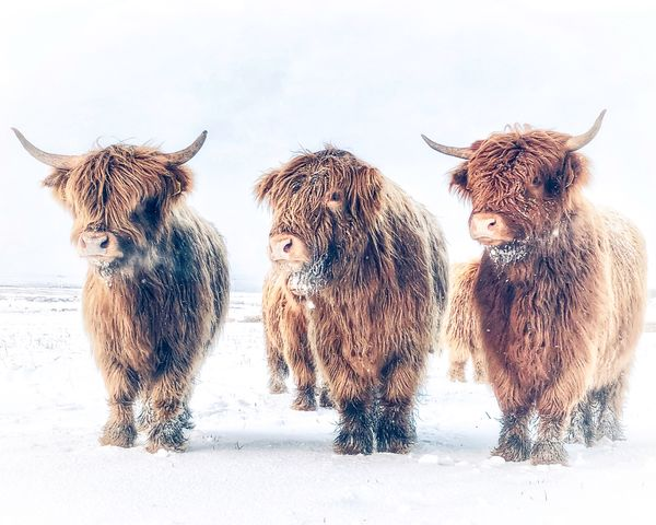 Coos in the snow