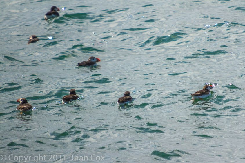 20110710-IMG 2185-Puffins, Inchkeith