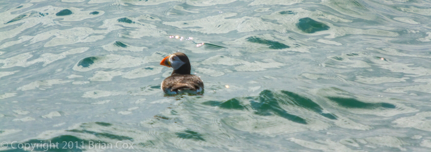 20110710-IMG 2255-Puffin, Inchkeith