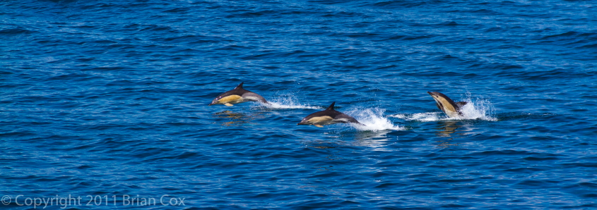 20110713-IMG 2389-Dolphins in Minch