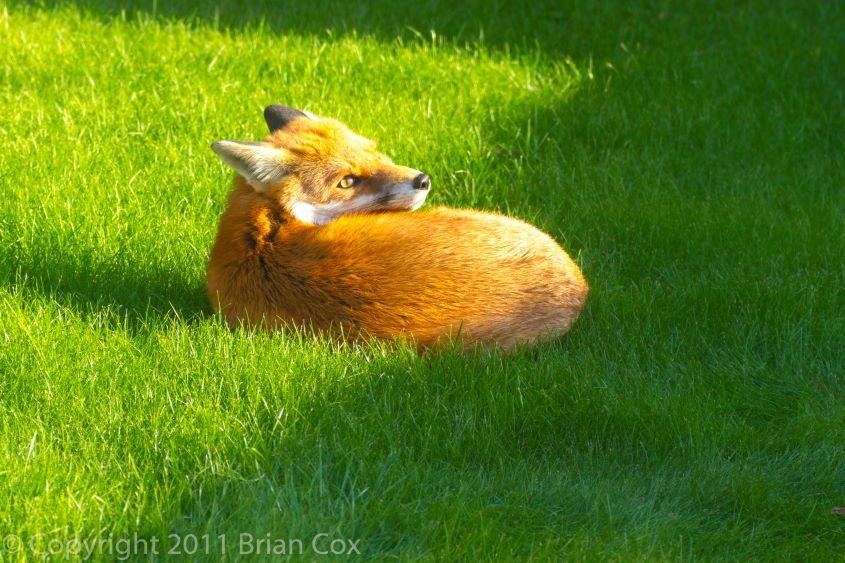 20111007-IMG 3979-Fox