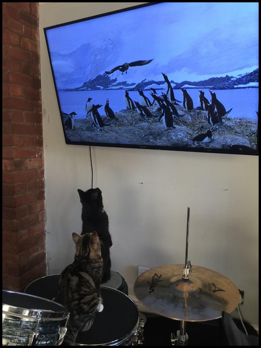 Kittens and Penguins vs Auk.