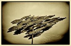 Fish, flying...
