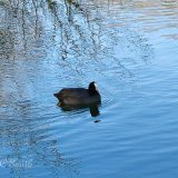 A coot (Fulica Atra) Swimming on a Lake