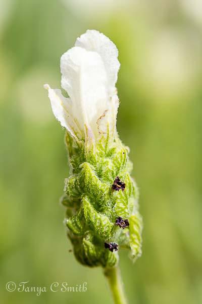 Anouk White Lavender