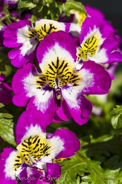 Bavarian Buttefly Flowers