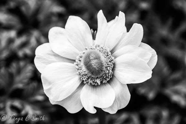 Black & White Anemone Poppy