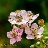 Bramble Flowers in Summertime