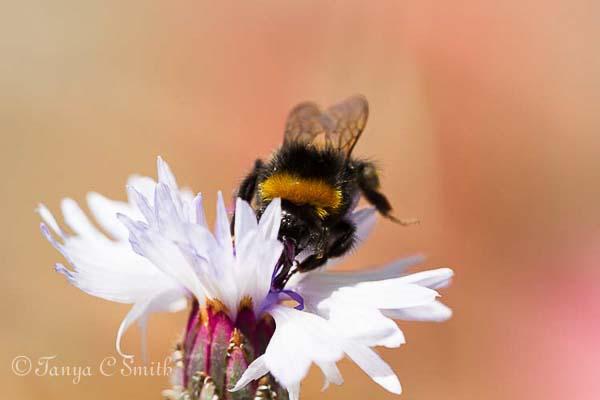 Bumblebee on a Cornflower
