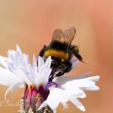 Bumblebee on a Cornflower