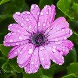 Cape Marigold Rain Daisy