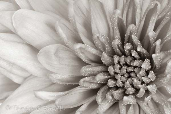 Chrysanth Macro Tonal Effect