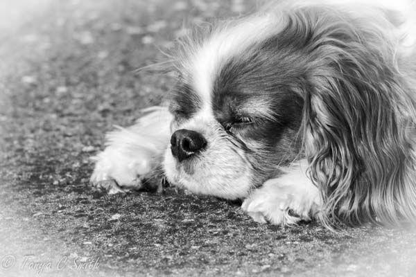 Sleepy Cavalier