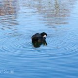 Coot (Fulica Atra) on a Lake