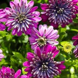 Double African Daisies