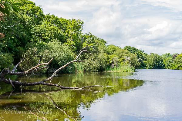 English Lake With Fallen Tree