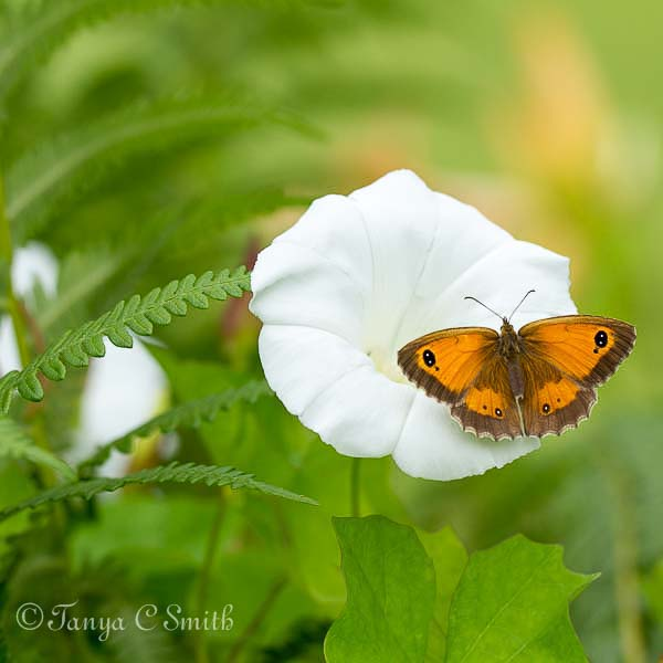 Gatekeeper Butterfly (Pyronia Tithonus) on a Bindweed Flower