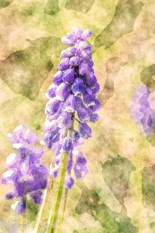 Grape Hyacinth Watercolor Effect