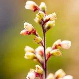 Heuchera Flowers in Summer