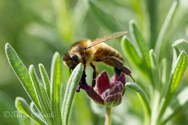 Honeybee Feeding on Lavender Flowers
