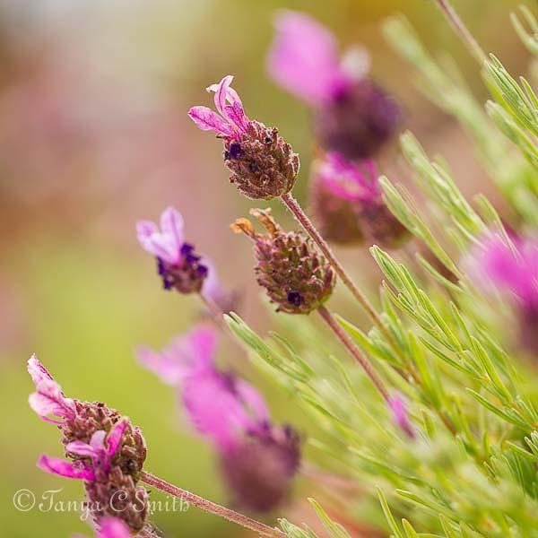 Lavandula Stoechas (French Lavender) Flowers