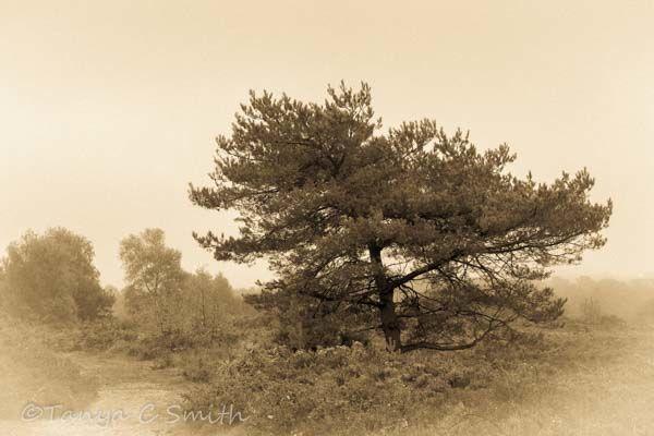 Misty Pine