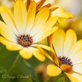 Osteospermum Yellow Daisy
