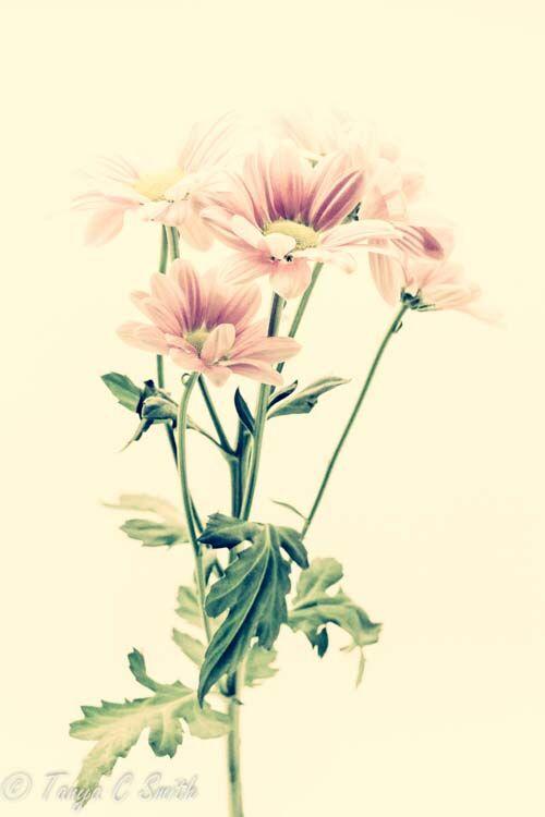 Pink Chrysanths Vintage Effect
