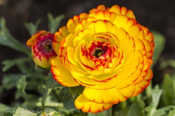 Ranunculus Buttercup
