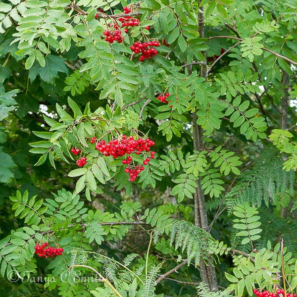Rowan Tree Berries